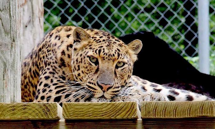 Leopard at Zoo